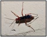 Spider Wasp (Tachypompilus ferrugineus)