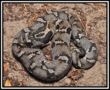 Eastern Hognose (Heterodon platyrhinos)