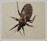 Conenose Bug-Kissing Bug (Triatoma lecticularia)