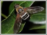 Progressive Bee Fly (Exoprosopa fasciata)