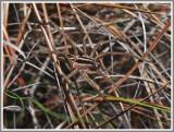 Rabid Wolf Spider (Rabidosa rabida)
