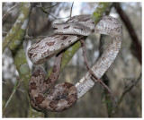 Gray Rat Snake (Pantherophis spiloides)