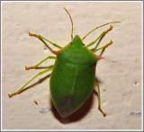 Stink Bug (Loxa flavicollis)