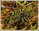 Sixspotted Fishing Spider (Dolomedes triton)