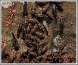Common Barklice (Cerastipsocus venosus)