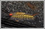 Whitemarked Tussock Moth Caterpillar (Orgyia leucostigma)