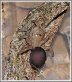 Purseweb Spider (Sphodros abboti)