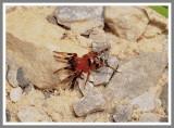 Hooded Sergiolus Antmimic (Sergiolus capulatus)