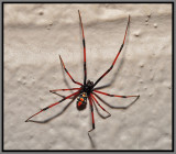 Northern Black Widow Spider, male (Latrodectus variolus)