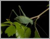 Clicker Round-winged Katydid (Amblycorypha alexanderi)