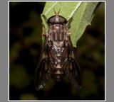 Horse Fly (Tabanus spp.)