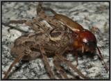 Huntsman Spider (Heteropoda venatoria)