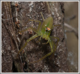 Magnolia Green Jumping Spider (Lyssomanes viridis)