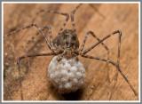 Spitting Spider (Scytodes thoracica)