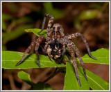 Wolf Spider (Hogna spp.)