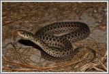 Eastern Garter Snakes (Thamnophis sirtalis sirtalis)