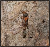 Mexican Twig Ant (Pseudomyrmex gracilis)