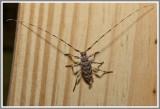 Cerambycid Beetle (Acanthocinus obsoletus)