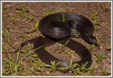Black Pine Snake (Pituophis melanoleucus lodingi)