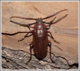 Cerambycid Beetle (Prionus pocularis)