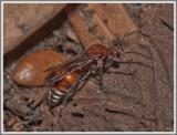Velvet Ant Male (Dasymutilla spp)