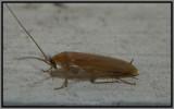 Wood Cockroach (Parcoblatta caudelli)
