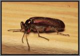 Blister Beetle - Bronze Blister Beetle (Lytta polita)