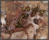 Eastern Yellowjackets (Vespula maculifrons)