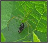 Green Lynx Spider (Peucetia viridans)