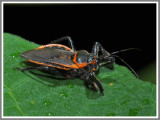 Bee Assassin (Apiomerus crassipes)