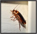 Australian cockroach (Periplaneta australasiae)