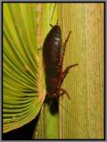 Florida Woods Cockroach (Eurycotis floridana)