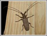 Cerambycid Beetle (Goes tumifrons)