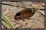 Surinam Cockroach (Pycnoscelus surinamensis)