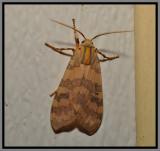 Banded Tussock Moth (Halysidota tessellaris)