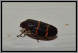 Twolined Spittlebug (Prosapia bicinta)