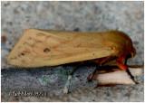 Isabella Tiger Moth  Moth Pyrrharctia isabella #8129