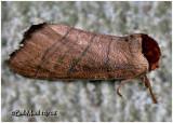 Angus's Datana MothDatana angusii  #7903