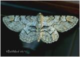 Bent-line Gray MothIridopsis larvaria #6588