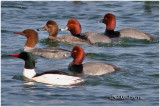 Redheads and Common Mergansers