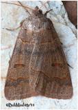 Common Oak MothPhoberia atomaris #8591