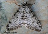 Small Phigalia Moth-Phigalia strigataria #6660