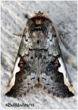 White-headed Prominent MothSymmerista albifrons  #7951