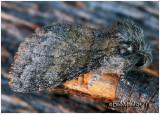 Common Gluphisia  MothGluphisia septentrionis  #7931