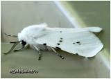 Fall Webworm Moth Hyphantria cunea #8140