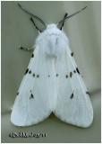 Fall Webworm Moth-Variation Hyphantria cunea #8140