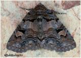 Brown-spotted Zale MothZale helata  #8704