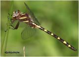 NATURAL HISTORY OF DELMARVA-DRAGONFLIES AND DAMSELFLIES