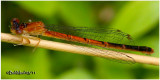 Eastern Red Damsel-Female