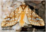 Hickory Tussock MothLophocampa caryae #8211